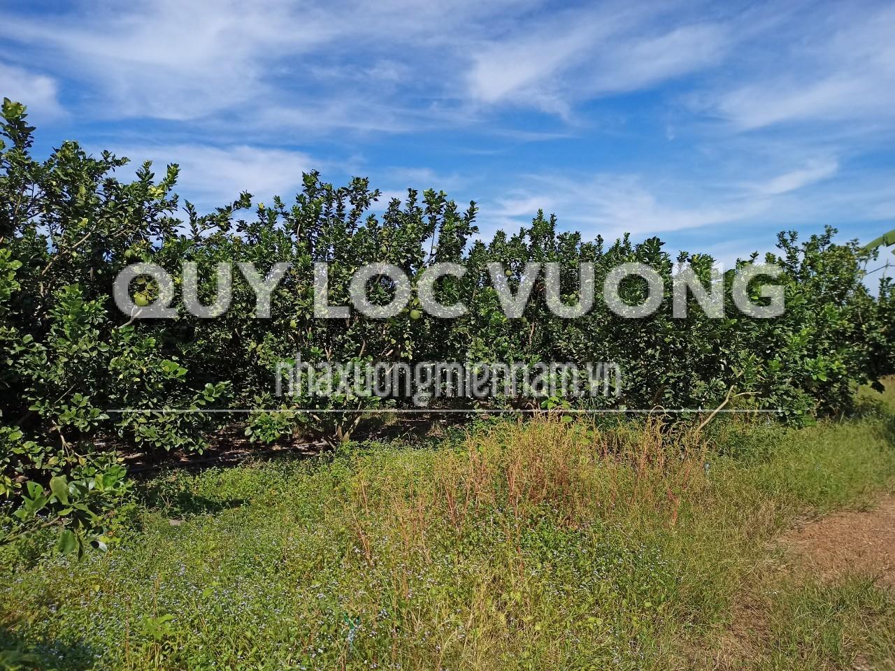 Bán đất trồng cây lâu năm xã Phước Sang huyện Phú Giáo rộng 65.000m2