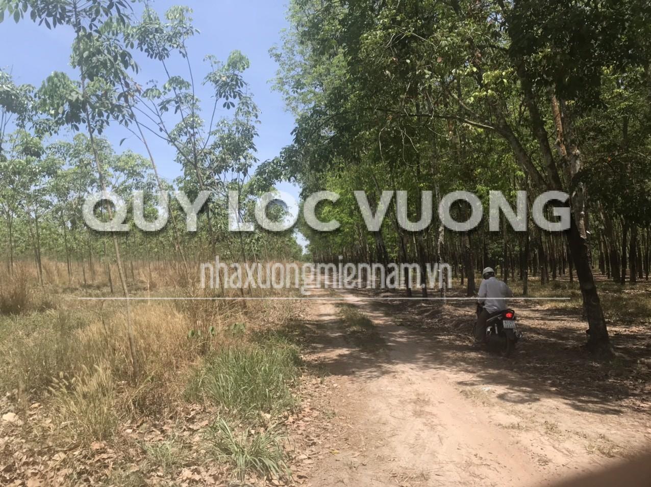 Bán 31127m2 đất trồng cây lâu năm tại xã Tân Hưng Bàu Bàng Bình Dương